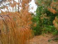 Pine Colors