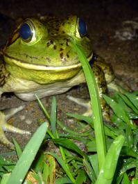 Ivan the Frog