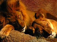 Sleeping Lions at Sunset
