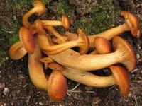 Tubular Fungi