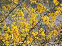 flowering thorn tree 1