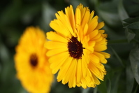 Organic marigold 5