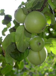 Appels on branch