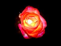 Roses on Black 4