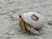 Crab in Maldives 2