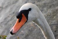 A swan 1