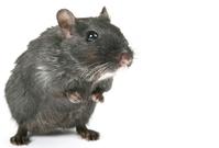 black rodent