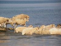 Wild sheeps
