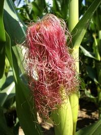 Corn silk 2