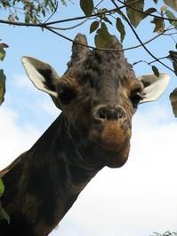Giraffe Mania