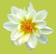 white flower on lime