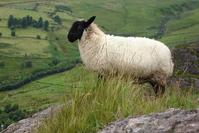 Sheep in Ireland 2