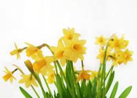 eastern daffodils 1