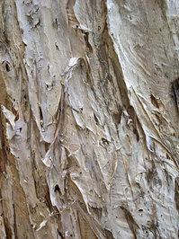 texture - paper bark tree