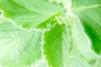 detail leaf Peumus boldus