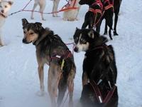 Finnish Sledge Dogs - Huskies
