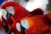 Araras Vermelhas - red Brazilian Macaws 2