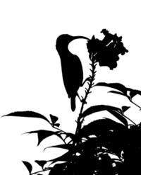 Sunbird Silhouette
