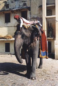 Thai elefant