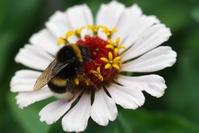 Common zinnia and bumblebee