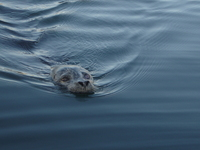 Popeye the Harbor Seal