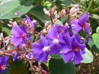 flor de quaresmeira