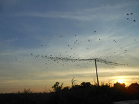 starlings' flash mob 1