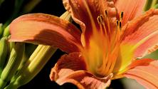 Invictus Lily