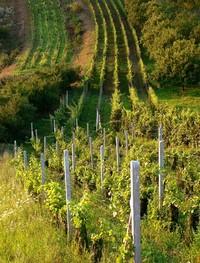 Wineyard in Czech