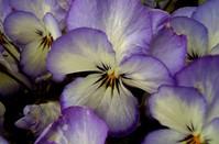Pansy Violet