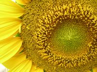 Sunny Sunflowers 2