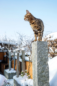 Bengal Cat in snowy Garden