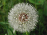 dandelion (detail)
