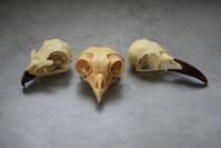 Raptor Skulls