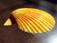 Shell Orange