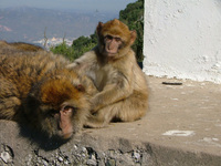 monkey in gibraltar 3
