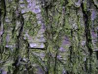 Mossed bark texture