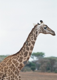 Giraffe close-up, Tsavo East N