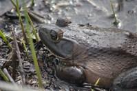 Bullfrog Sunning
