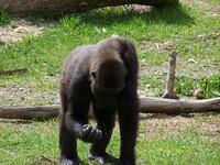 gorillas 19