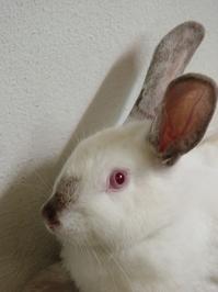 brazilian rabbit 3