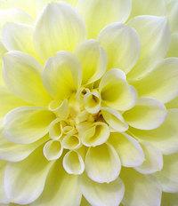 Pom Flower