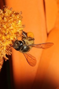 Wild Honey Bee(s) 3