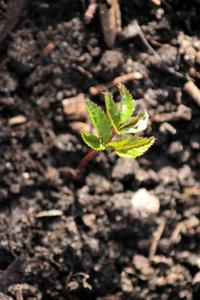 Rising ground elder