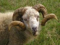 Schaf auf Texel - Sheep on Texel Island