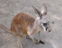 Kangaroo 2 - Australian Zoo