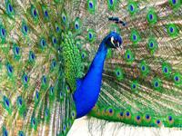 Kings peacock 5