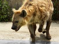Laughing hyena. 2