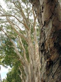 Paperbark tree 1