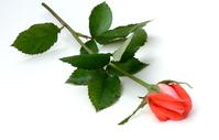 Pink Rose 29